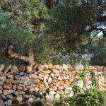 A fine example of traditional dry stone walling in Puglia